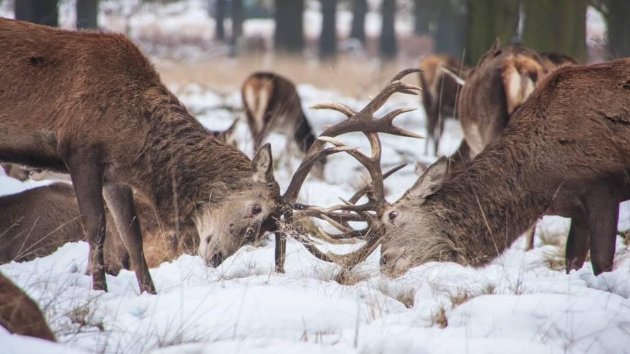 Quanto sono grandi le corna del Cervo?
