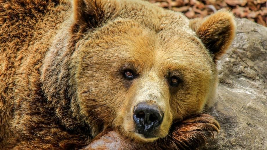 Gli orsi amano il miele?