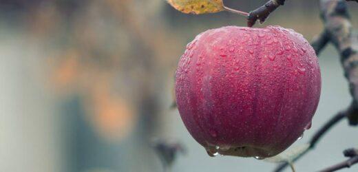 Il frutto proibito era una mela?